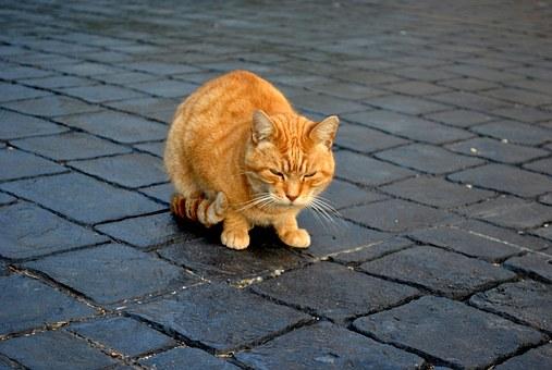 Bolile transmise de pisici costă economia Australiei 6 miliarde de dolari anual (studiu)