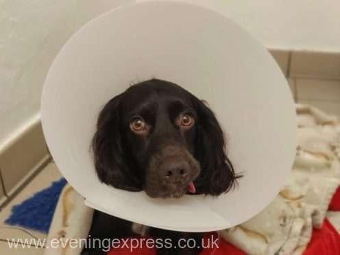Un câine din Marea Britanie a înghiţit o mască de protecţie şi a supravieţuit după operaţie