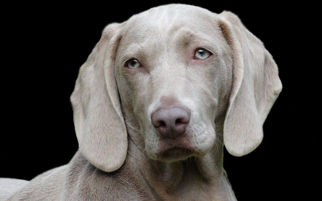 Noua terapie cu celule stem la câini – o descoperire uimitoare în medicina veterinară