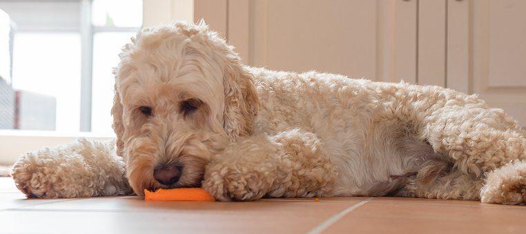 Ce alimente sunt sigure pentru câini?