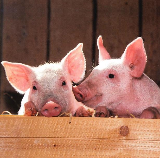 Virusul pestei porcine ar putea fi transmis de insecte. Vaccinul are eficiență 100%