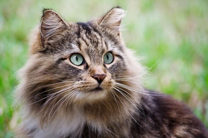 Recunoașterea și diagnosticarea hipertiroidismului felin