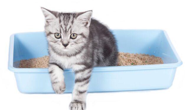 Gestionarea infecțiilor recurente ale tractului urinar la animalele de companie