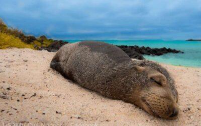 Specialişti ai USAMV din Cluj-Napoca demarează un proiect în Arhipelagul Galapagos pentru leii de mare