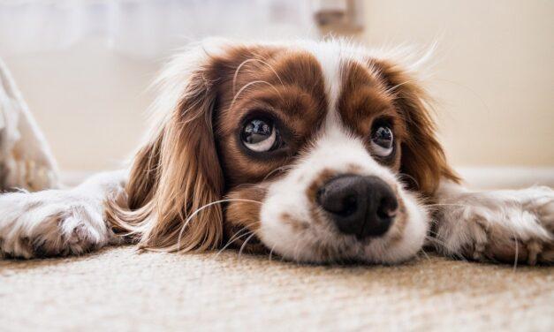 Cercetătorii oferă noi informații despre modul în care se poate diagnostica efectiv infecția cu Bartonella la câini
