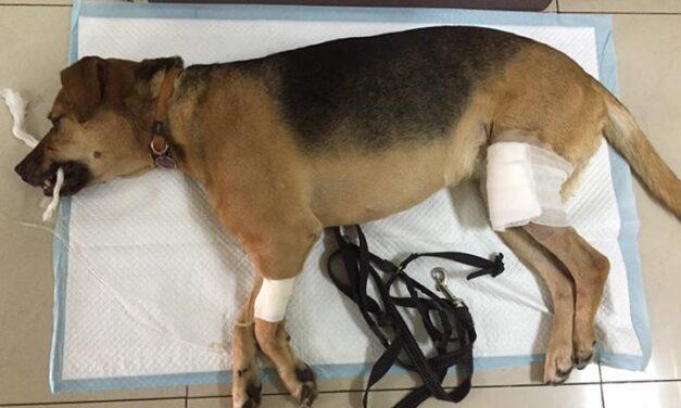 De ce câinii dezvoltă infecții după o operație chirurgicală?